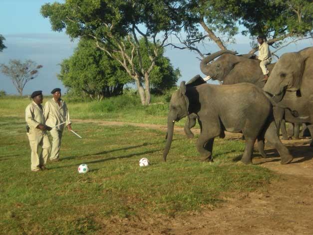 The elephants play soccer