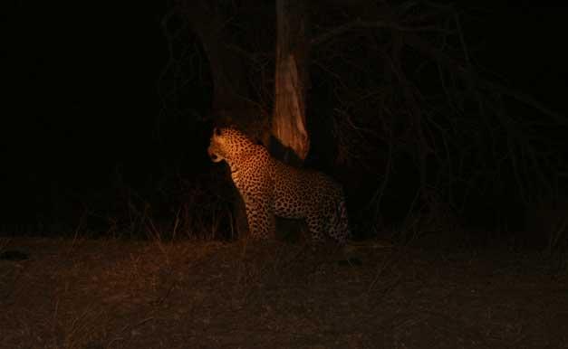 Camp-Jabulani - Leopard