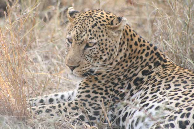 Camp-Jabulani-Leopard