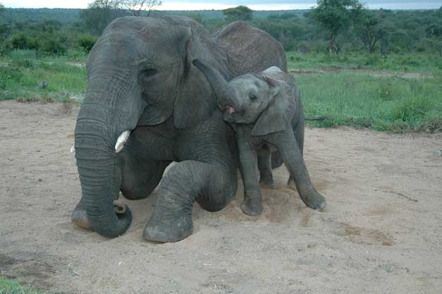 Camp Jabulani - Elephant and baby