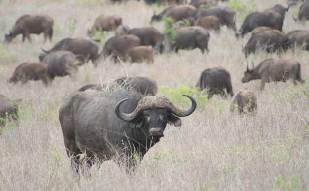Camp Jabulani - Buffalo herd