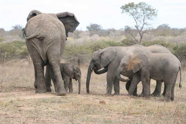 Camp Jabulani - Elephant herd