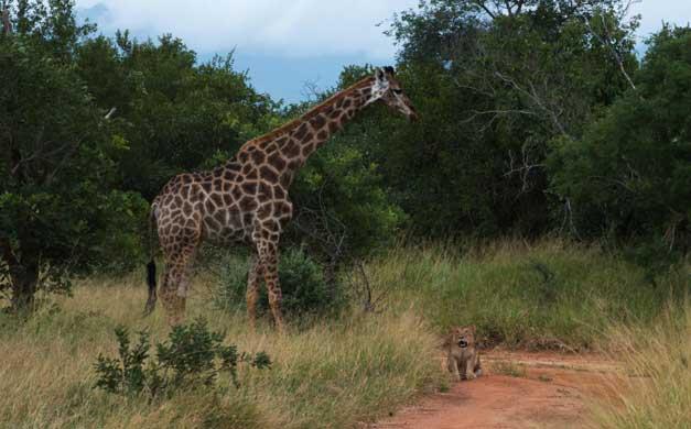 Camp Jabulani - Giraffe-Lion