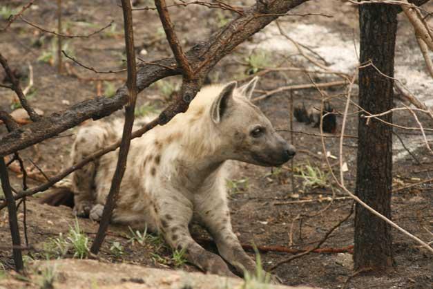 Camp Jabulani - Hyena