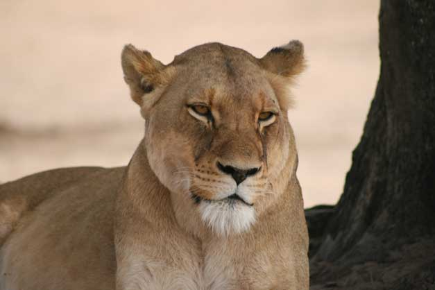 Camp Jabulani - Lioness