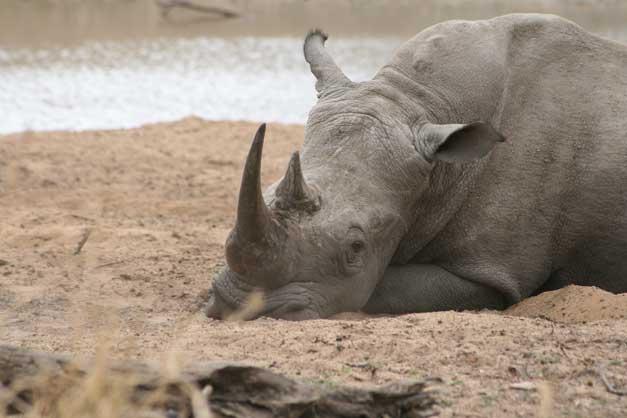 Camp Jabulani - Rhino