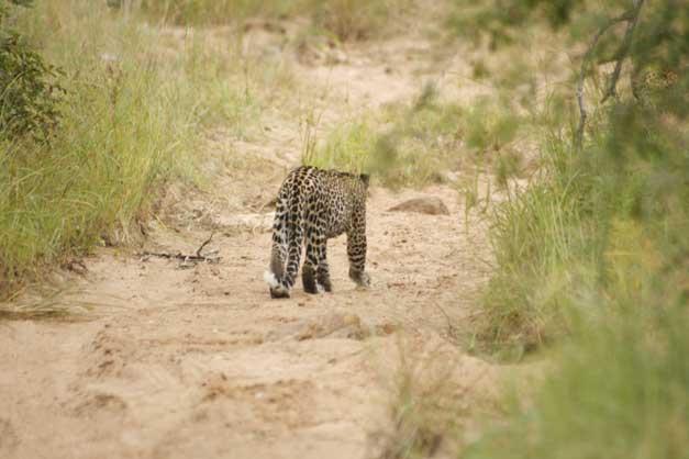 Camp Jabulani - Leopard