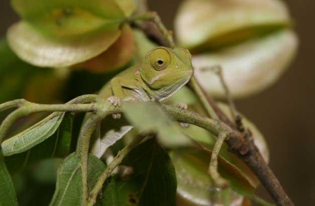 Camp Jabulani - Chameleon