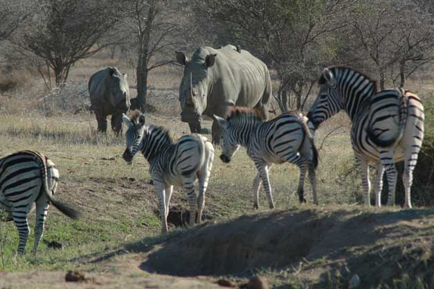 Camp Jabulani - Zebra&Rhino