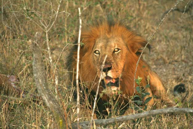 Camp-Jabulani-Male-lion