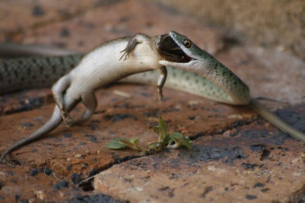 Spotted bush snake with Side-striped skink