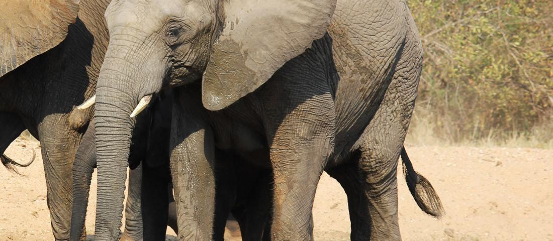 Camp Jabulani - Bubi the Elephant