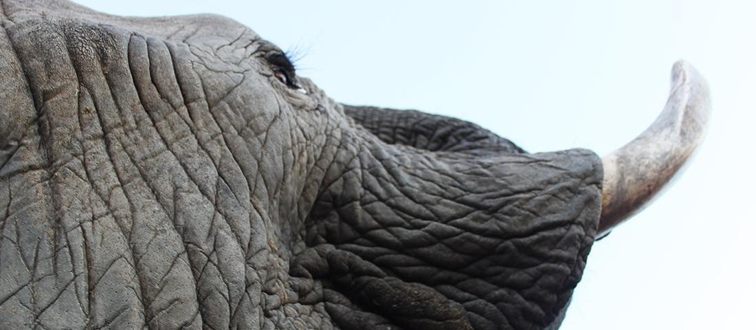 Somapani the Elephant