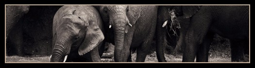african-elephant-project