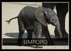 Limpopo the Elephant