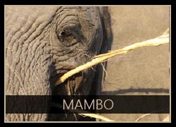 Mambo the Elephant