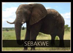 Sebakwe the Elephant