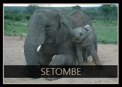 Setombe the Elephant
