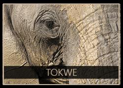 Tokwe the Elephant