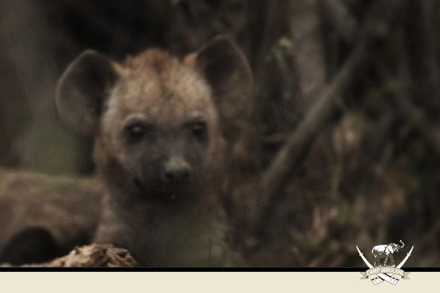 Hyena-cub-1