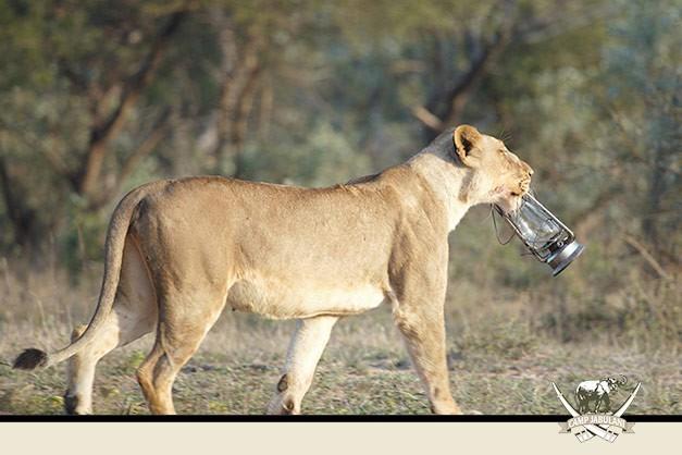 Lions Kapama Game Reserve