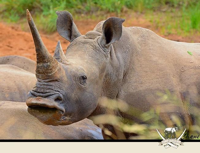 White Rhino Kapama