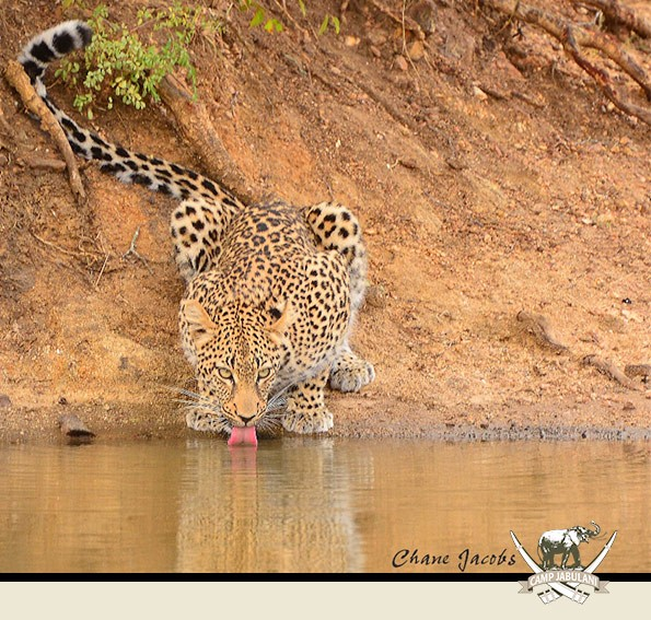 Kapama Game Reserve, Camp Jabulani, Wildlife, Drinking Leopard