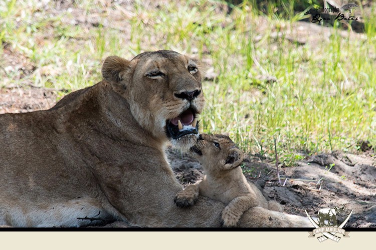Kapama Game Reserve, Camp Jabulani, Wildlife, Lioness, Lion Cub