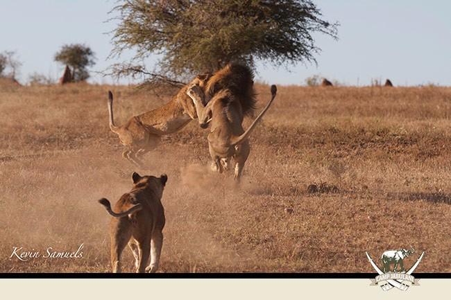 Camp Jabulani, Lions, Lion, Wildlife, wild life, safari, game drive