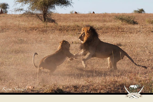 Camp Jabulani, Lions, Lion, Wildlife, wild life, safari, game drive