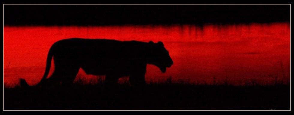 Lion at Camp J