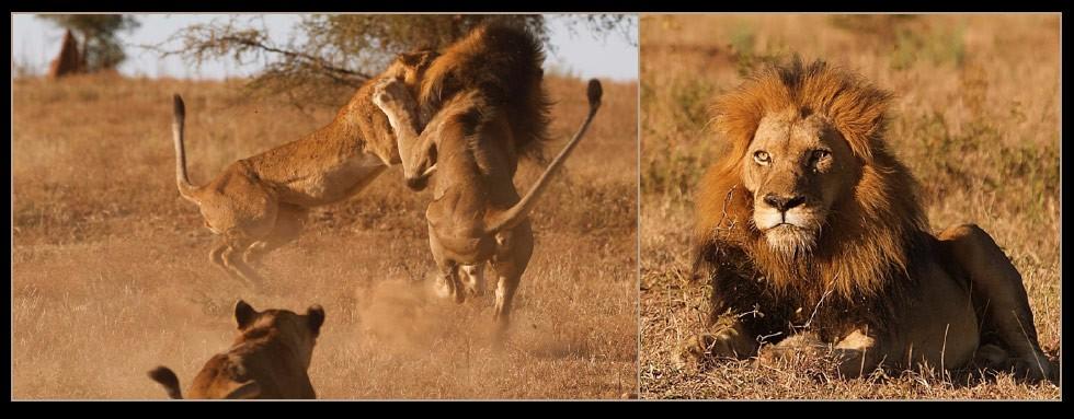 Lion Fight at Camp Jabulani