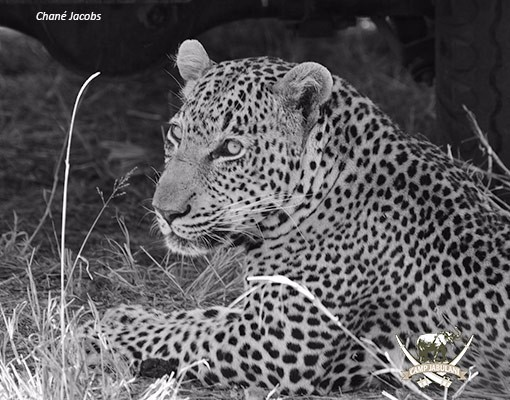 Leopard-under-vehicle