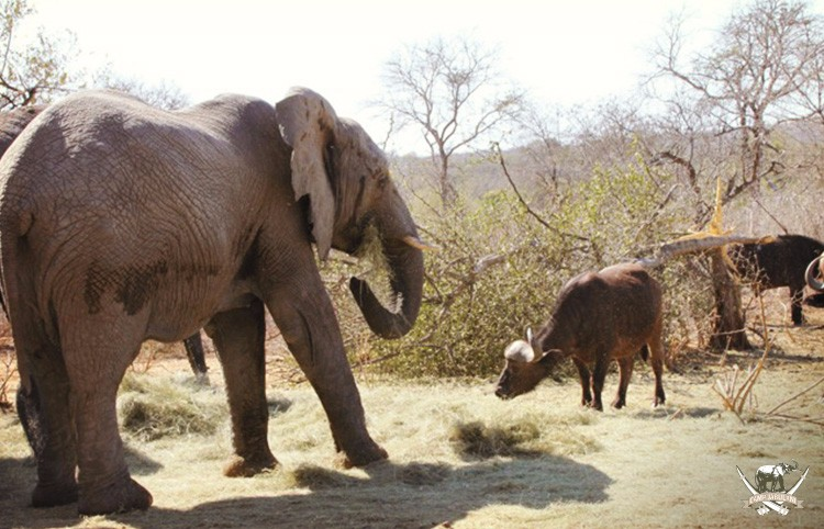 Elephant_Buffalo-Feeding_Camp Jabulani