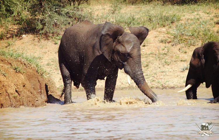 Camp Jabulani elephant - Bubi
