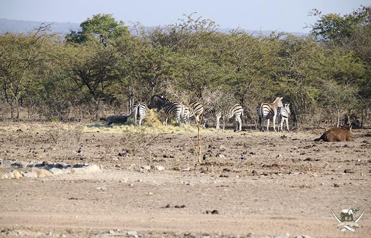 Zebra sighting at Camp Jabulani