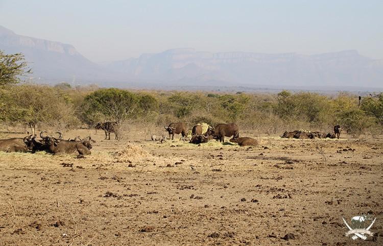 Buffalo sighting at Camp Jabulani