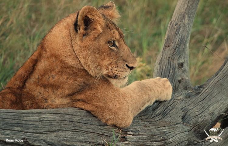 Lion Cub - Ruan Roos