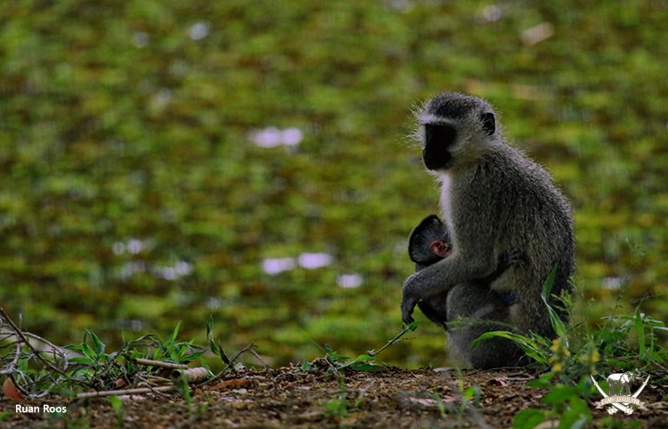 Camp Jabulani_Vervet Monkey