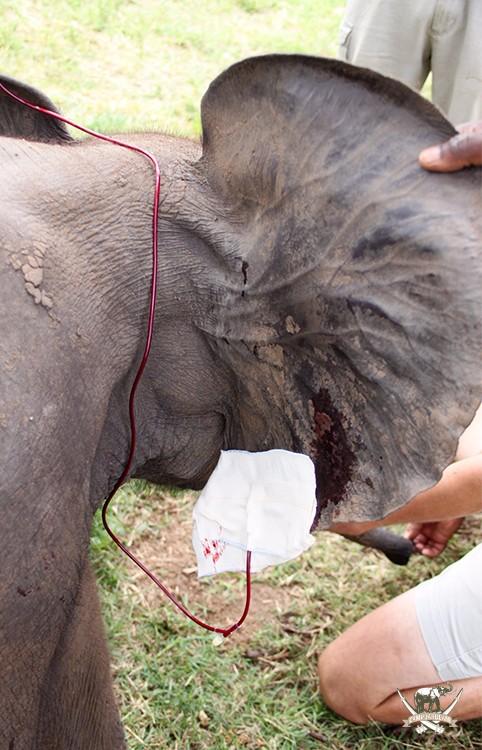 CJ-Elephant-Timisa-Blood-transfusion-6Mar17-61