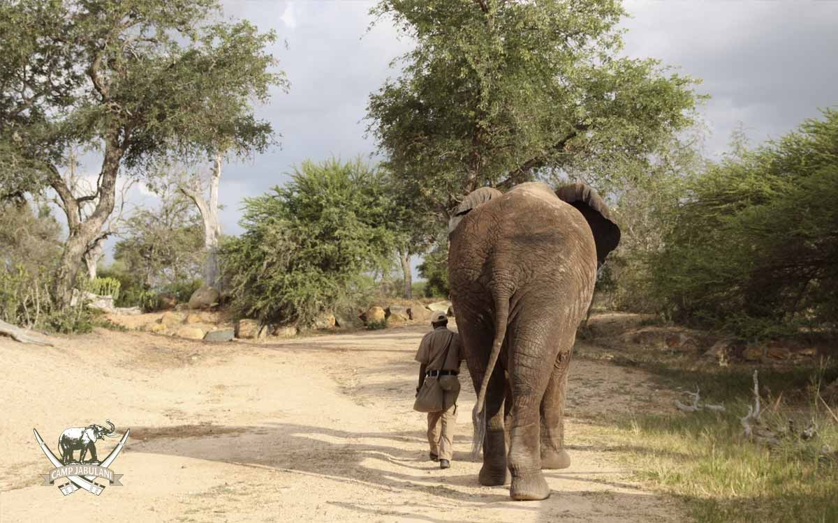 Elephant-Jabulani-walking-away-with-groom