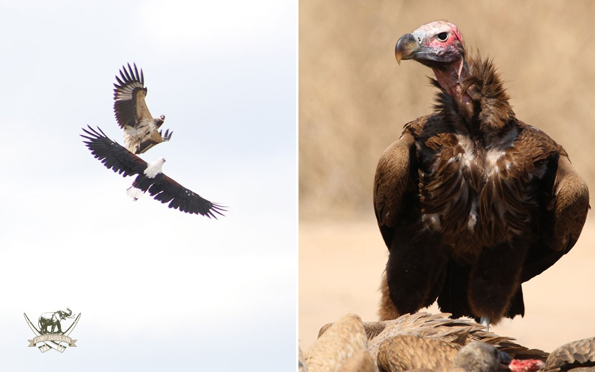 Fish-eagle-and-Osprey-fighting_Lappet-faced-vulture