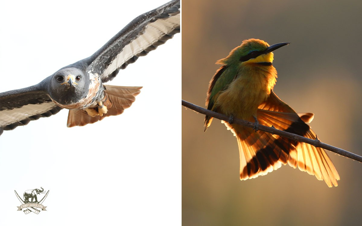 Jackal-Buzzard_Little-Bee-eater