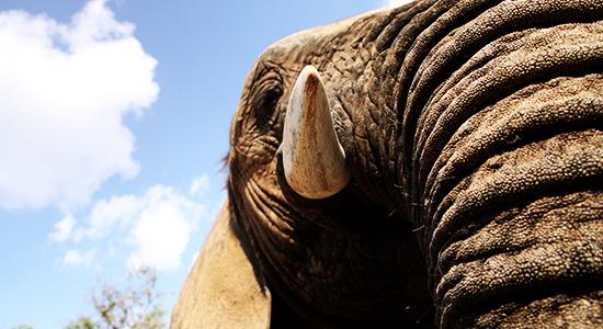 cj elephant experience