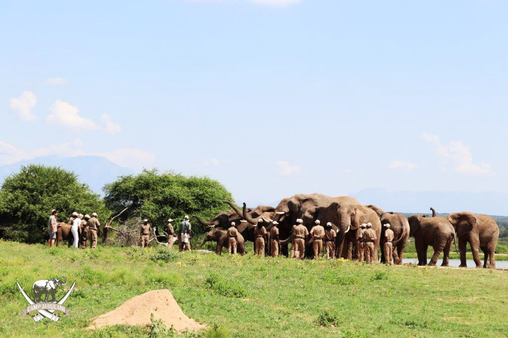 camp jabulani shawu introduced to herd