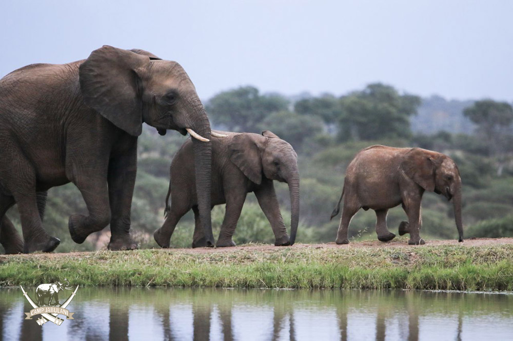 camp jabulani shawu introduced to the jabulani elephant herd