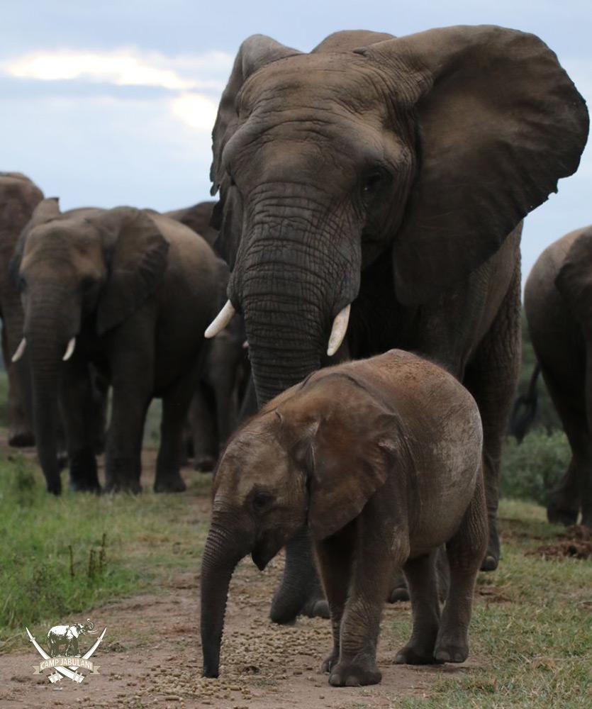 camp jabulani shawu introduced to the jabulani elephant herd