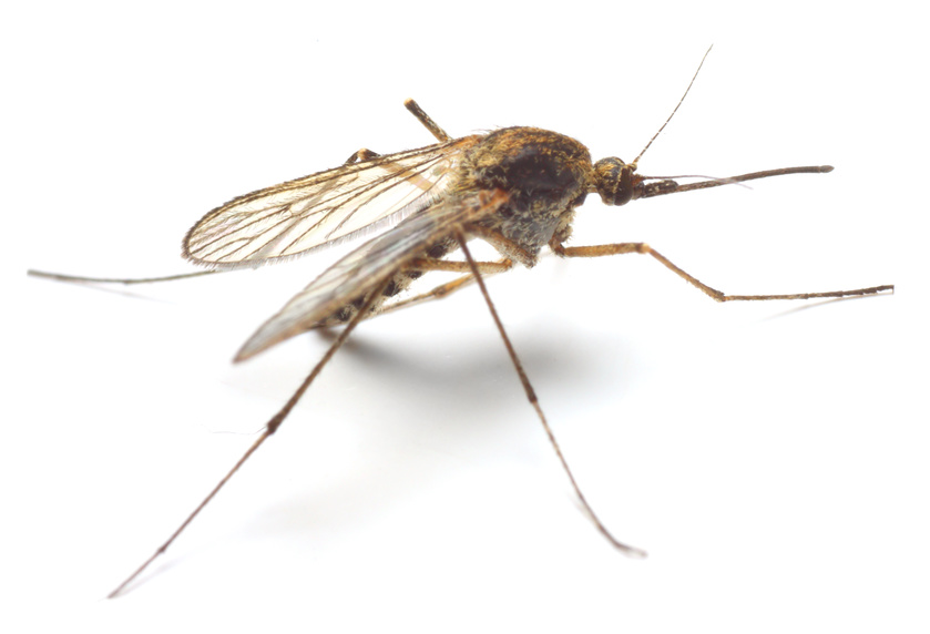 National Insect Week Anopheles Mosquito