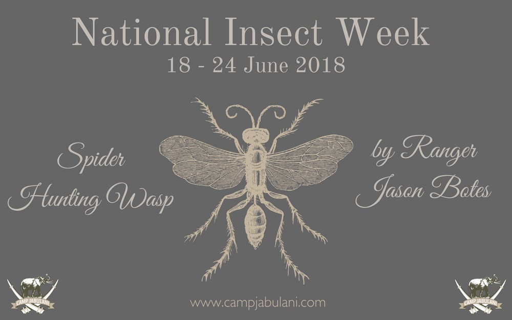 National Insect week - the Spider Hunting Wasp