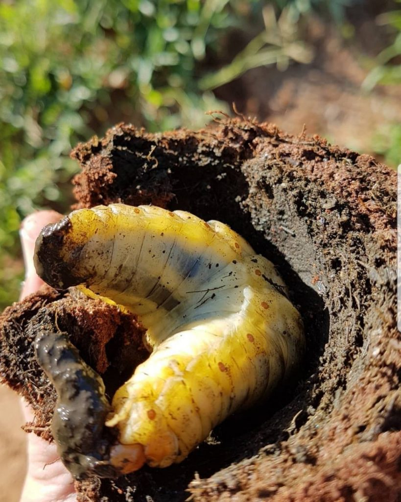 Telecoprid dung beetle larvae feeding on his ball of dung)